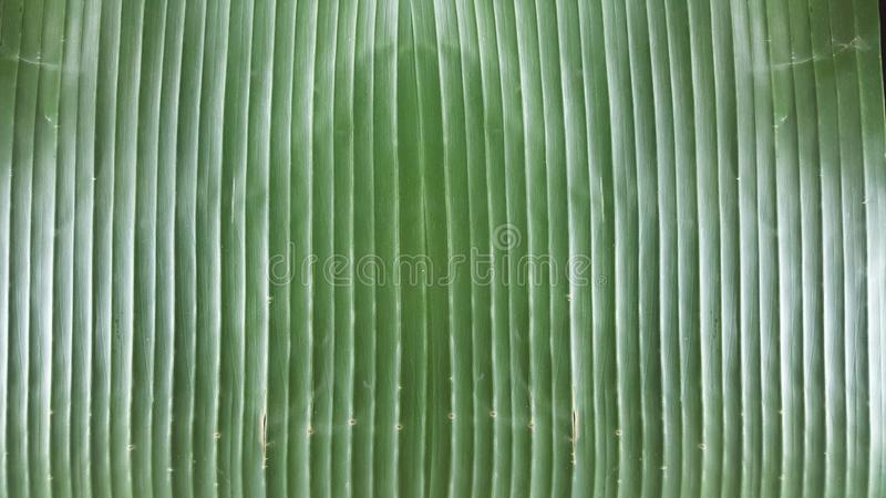 Biodegradable tray liner for table at restaurant, Bright Banana Leaf Background, close-up organic green natural texture wallpaper royalty free stock photography