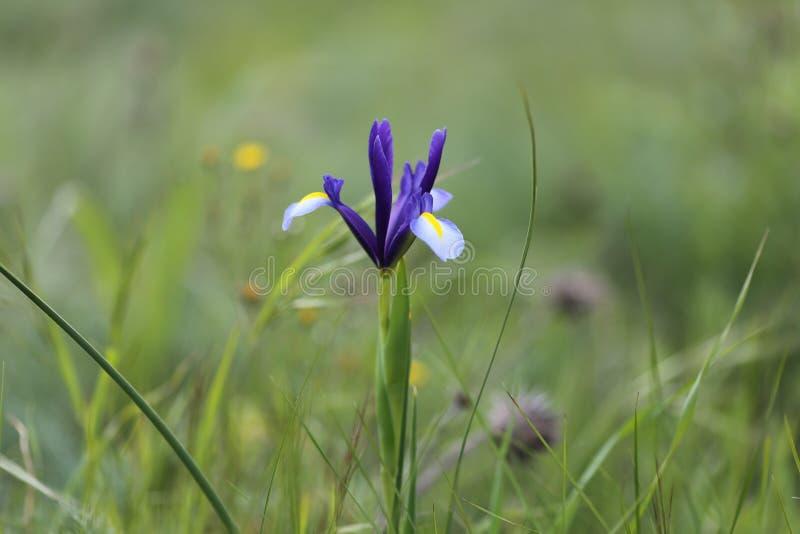Biodiversidade natural Planta da íris no campo imagem de stock