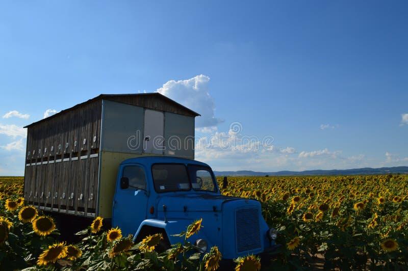 Biodlinglastbil- och solrosfält arkivfoton