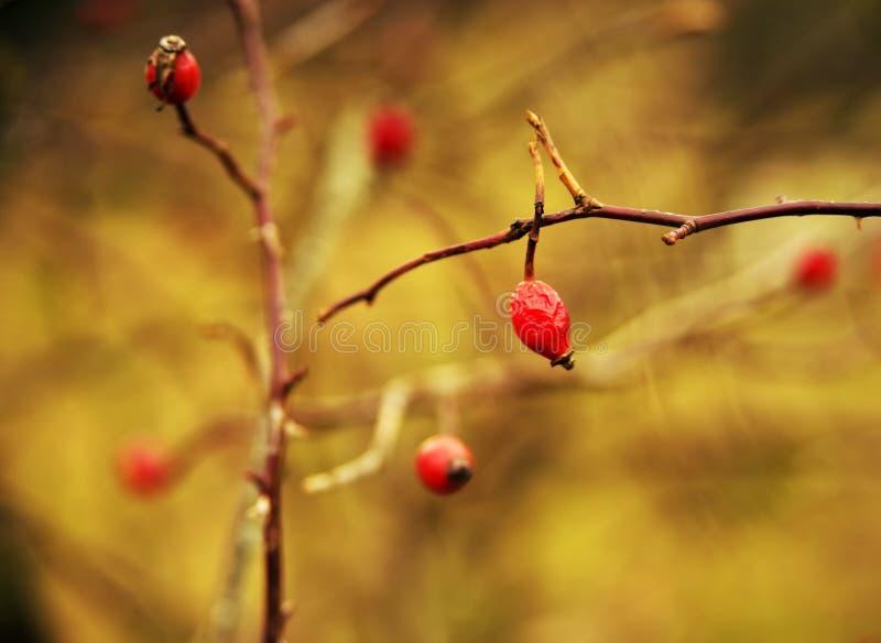 Biodra dziki wzrastali w op??nionej jesieni obraz stock