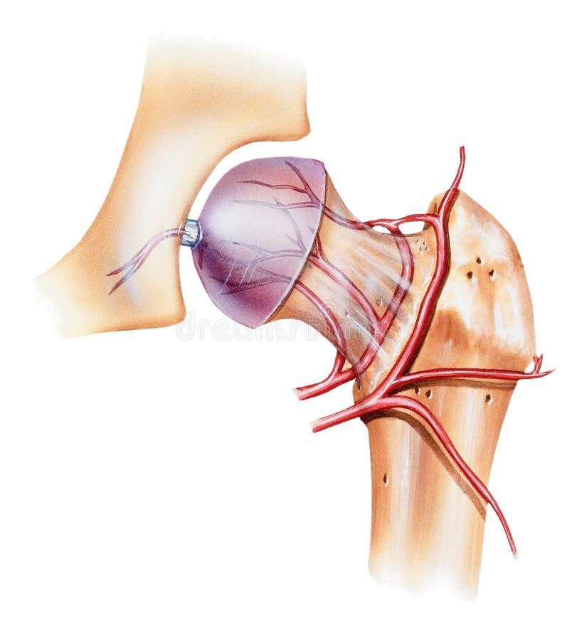 Biodro - Osteonecrosis Udowa głowa ilustracja wektor