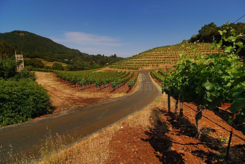 biodynamic лозы виноградины стоковая фотография