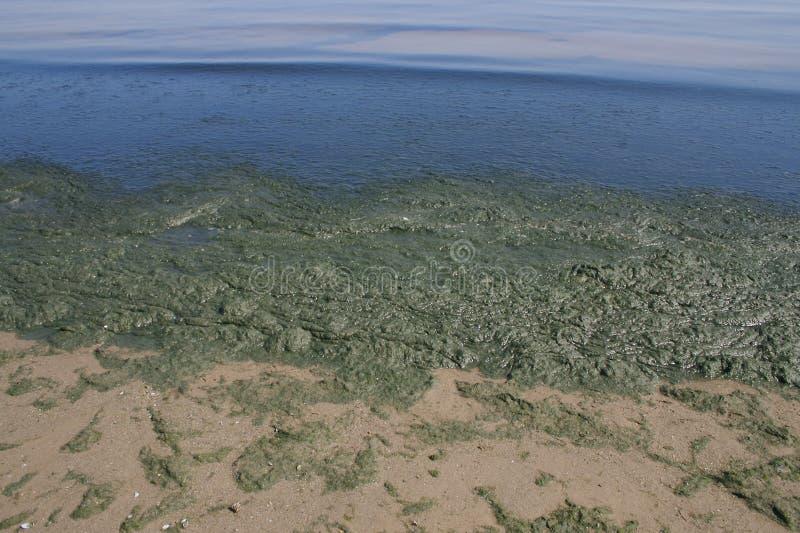 Biofilm d'alghe sopra lakeshore immagini stock