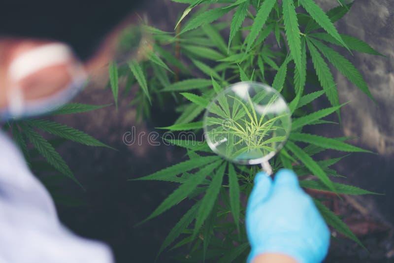 Biolodzy badają liście marihuany zdjęcie stock