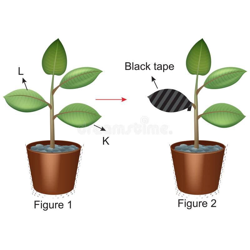 Biología - experimento 01 de la fotosíntesis y de la planta stock de ilustración