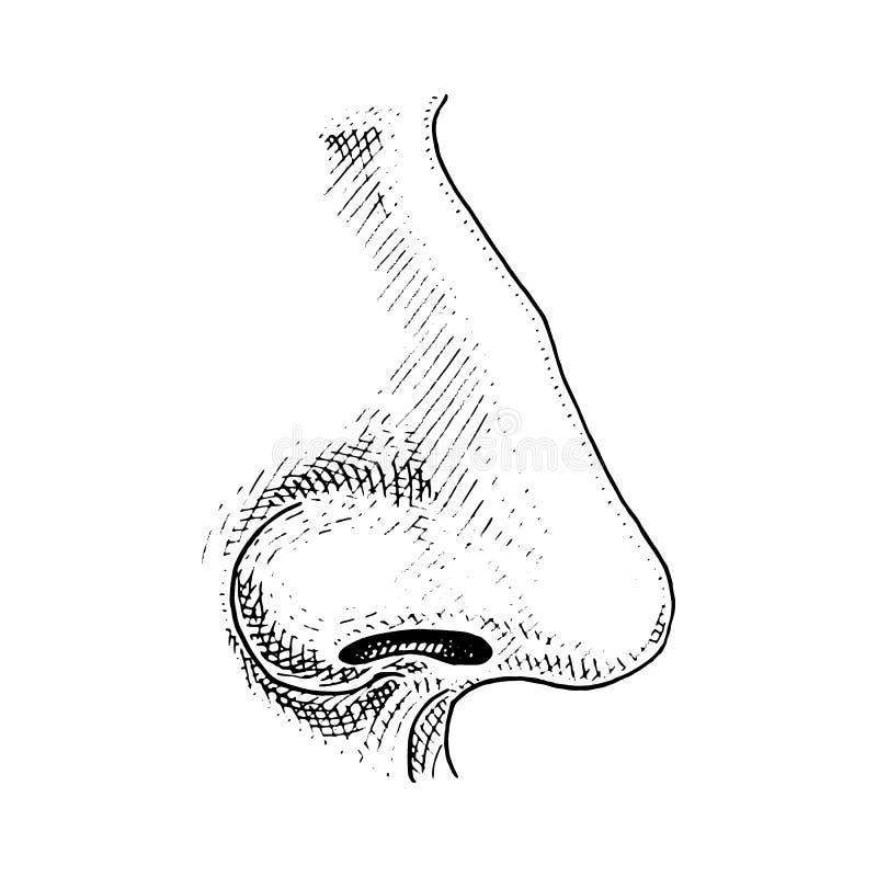 Biología humana, ejemplo de la anatomía del órgano mano grabada dibujada en viejo estilo del bosquejo y del vintage nariz detalla stock de ilustración