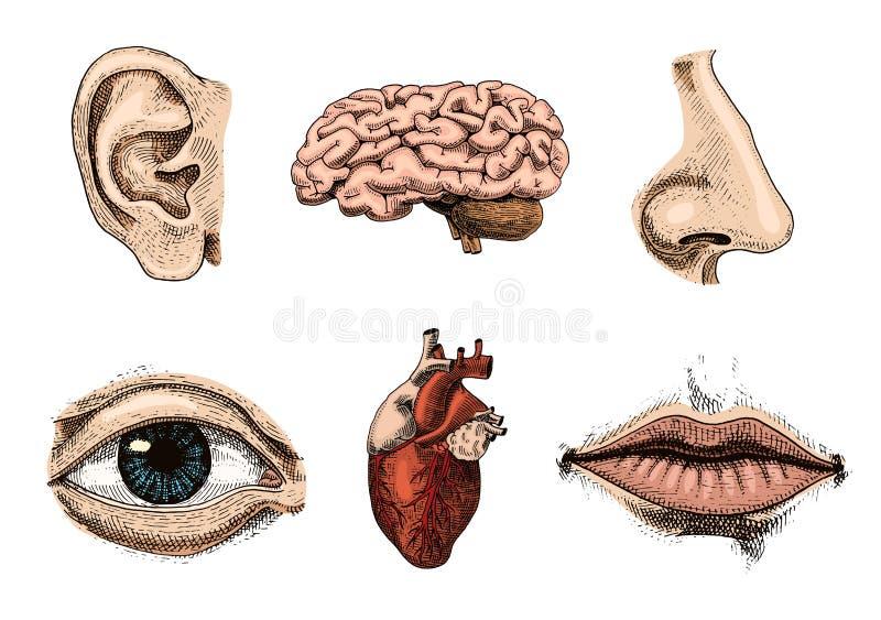 Biología humana, ejemplo de la anatomía de los órganos mano grabada dibujada en viejo estilo del bosquejo y del vintage beso deta stock de ilustración