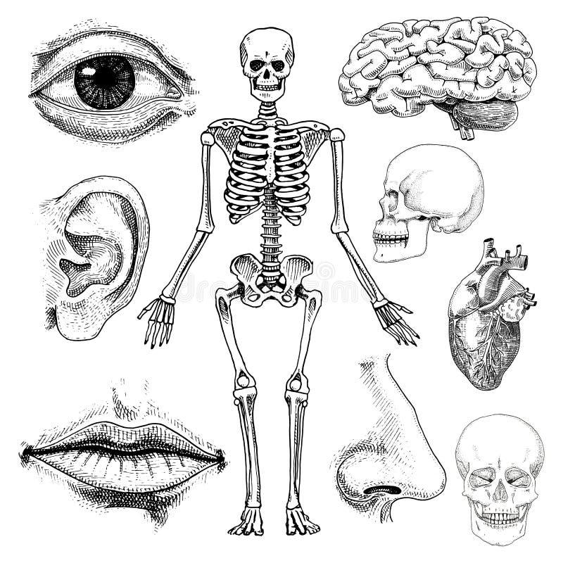 Biología humana, ejemplo de la anatomía mano grabada dibujada en viejo estilo del bosquejo y del vintage silueta del cráneo o del stock de ilustración