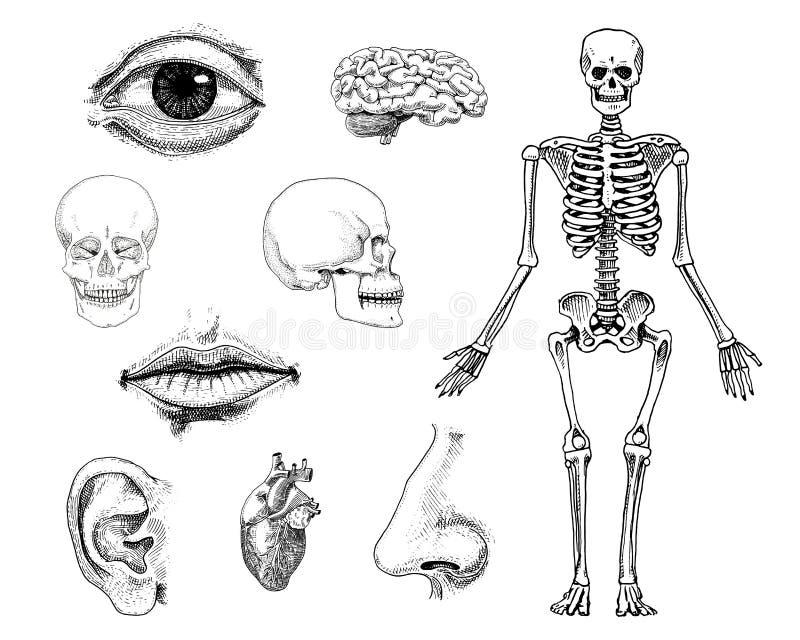 Biología humana, ejemplo de la anatomía mano grabada dibujada en viejo estilo del bosquejo y del vintage silueta del cráneo o del ilustración del vector