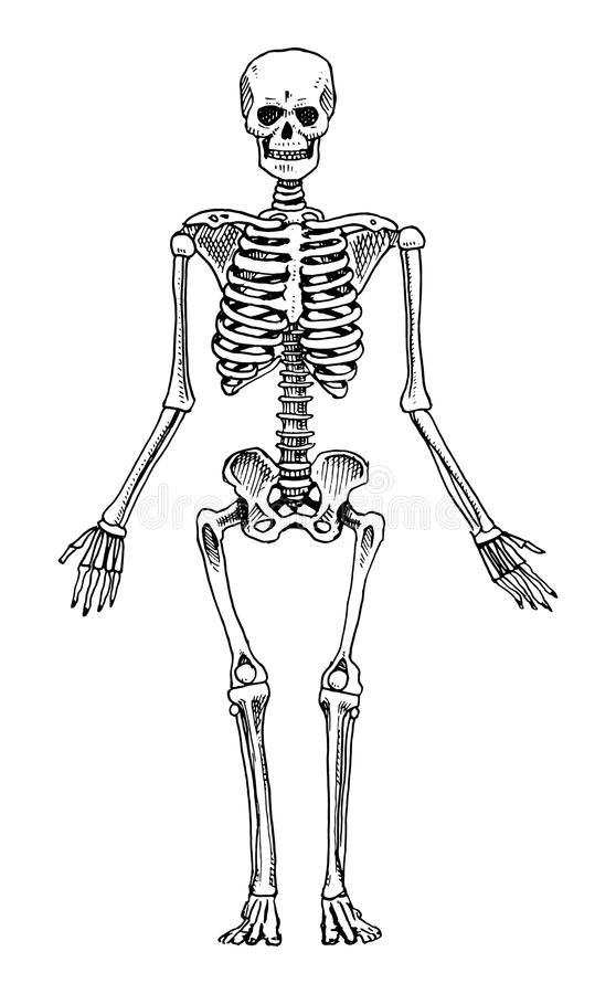 Biología Humana, Ejemplo De La Anatomía Mano Grabada Dibujada En ...
