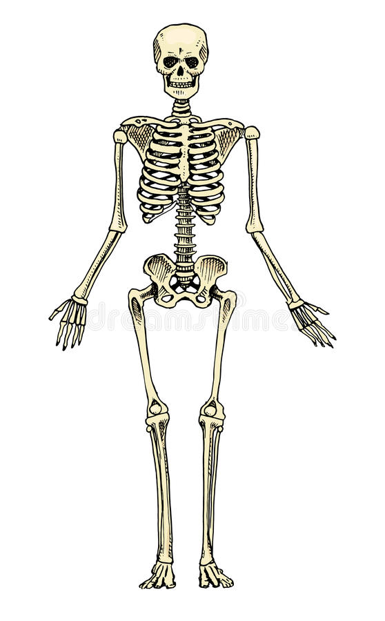 Biología humana, ejemplo de la anatomía mano grabada dibujada en viejo estilo del bosquejo y del vintage silueta esquelética Hues libre illustration