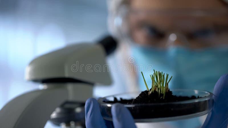Biolog observera groddar, genom att använda mikroskopet för att kontrollera tillväxt, agro forskning arkivbild