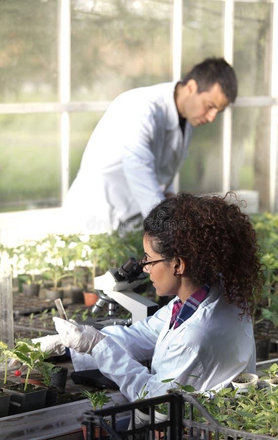 Biologer med plantor i växthus arkivfoto