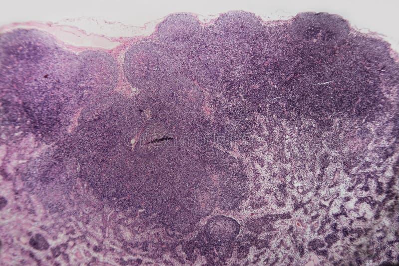 Biologia abstrakta komórki limfy guzka pies zdjęcie royalty free