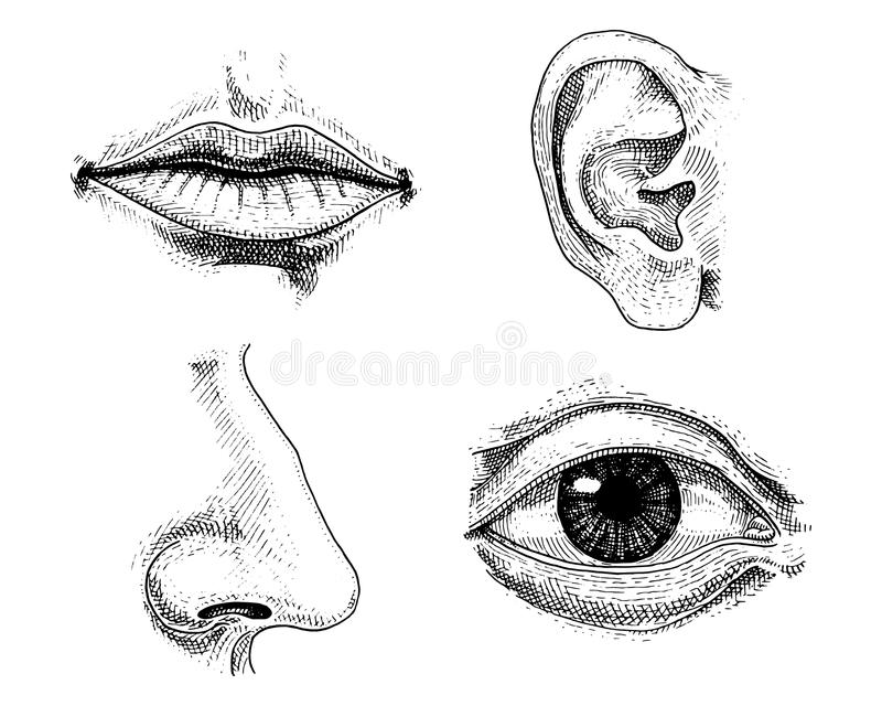 Biologia humana, ilustração da anatomia dos órgãos mão gravada tirada no estilo velho do esboço e do vintage beijo detalhado cara ilustração stock