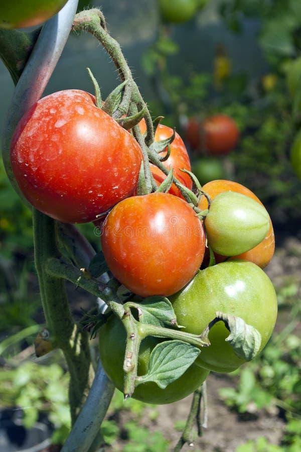 Biologic tomatoes in the garden. Biologic grown tomatoes in the garden royalty free stock photography