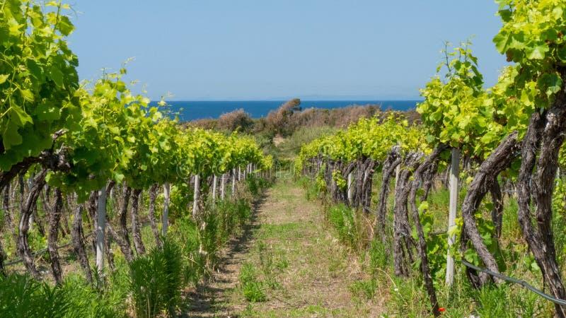 Biologic vineyard in sardegnia. Biologic vineyard with grapes. small walking path. sea in the background royalty free stock image