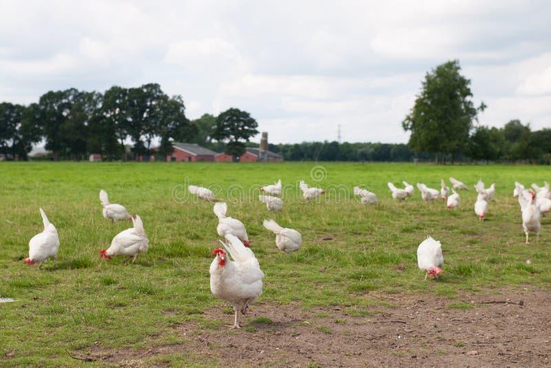 Biological chicken stock photo