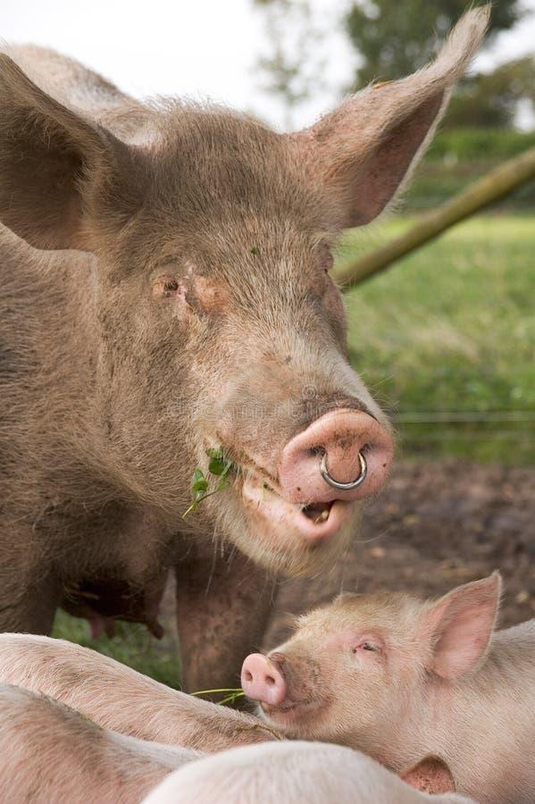 Biological Farm Pig stock images