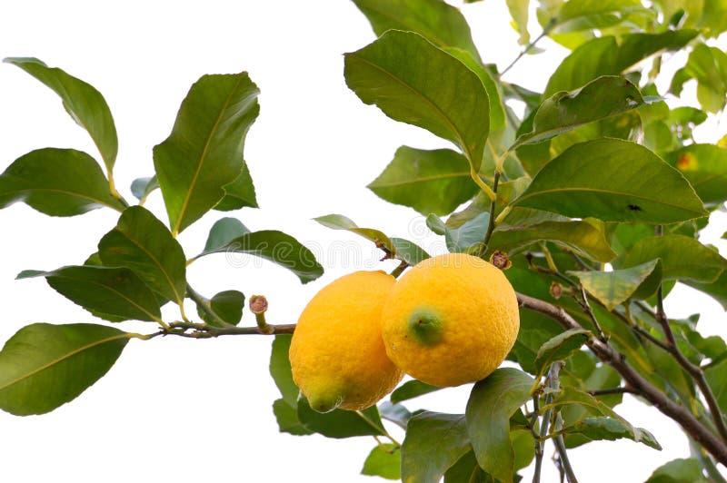 Download Biological lemon on white stock photo. Image of leaves - 13381408