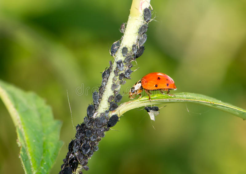 Biological Pest Control. Ladybug eating lice stock photos