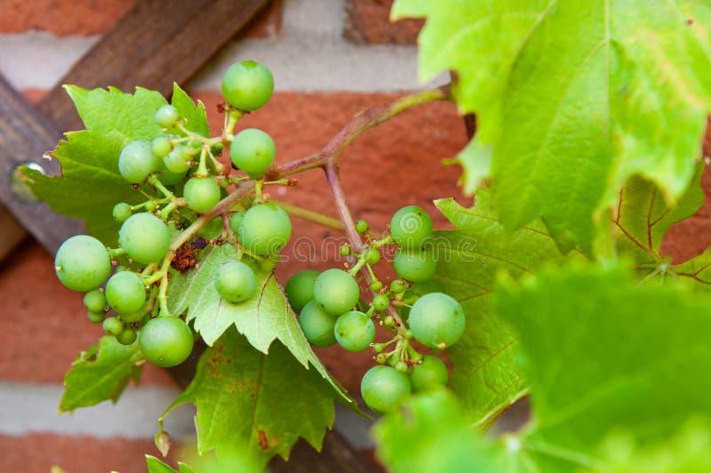 Biologiczni winogrona obrazy stock