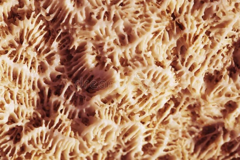 Biologische Beschaffenheit der natürlichen Seekoralle stockfoto