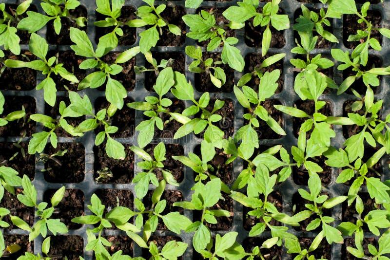 Biologische Landwirtschaft, Sämlinge, die im Gewächshaus wachsen stockfoto