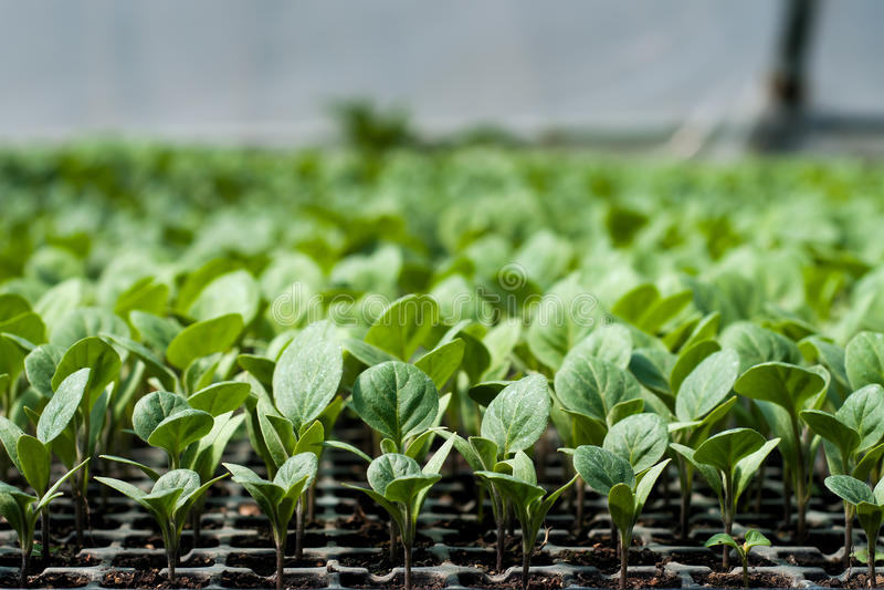 Biologische Landwirtschaft, Sämlinge, die im Gewächshaus wachsen lizenzfreies stockbild