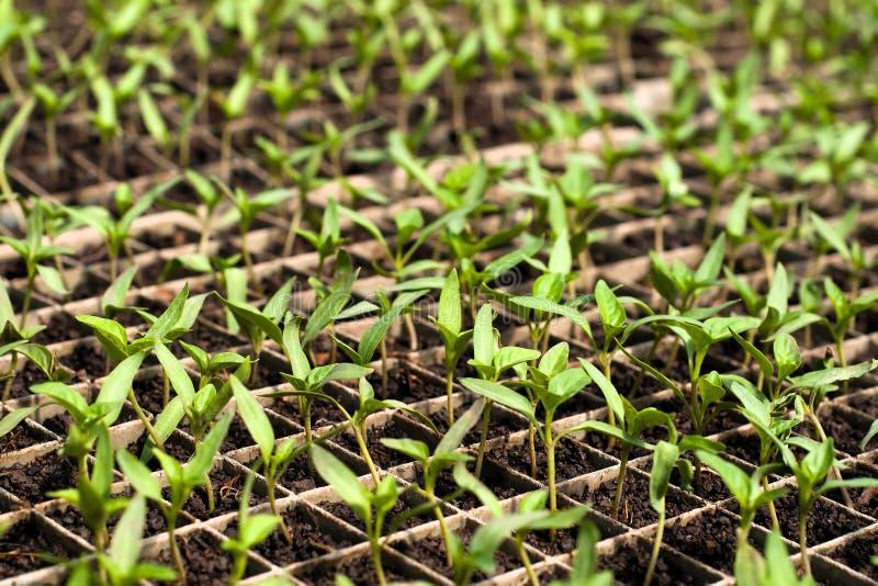 Biologische Landwirtschaft, Sämlinge, die im Gewächshaus wachsen lizenzfreies stockfoto