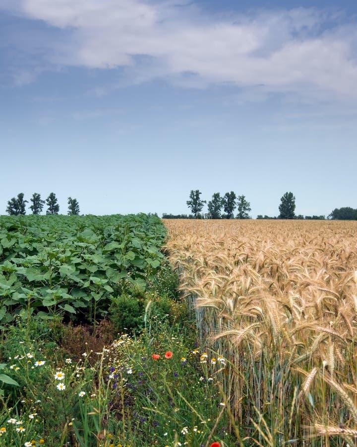 Biologisk mångfald, vete och solrosen odlade fältet i landsbygd arkivbilder