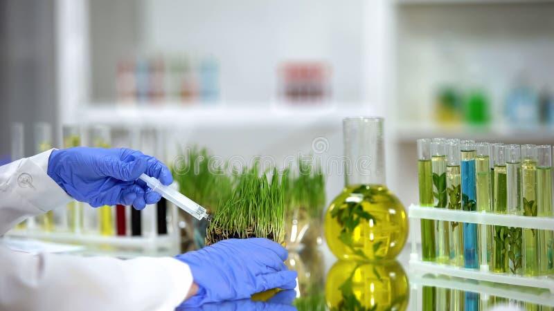 Biologiste injectant l'engrais dans des wheatgrass d'essai, d?veloppement de pesticides photos libres de droits
