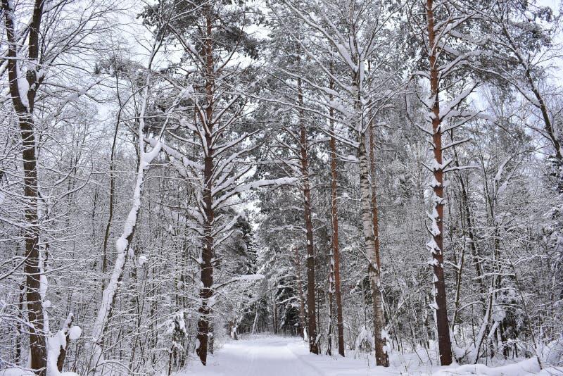 Bioma da floresta da neve, similar ao bioma do taiga no mundo ordinário Os pinheiros cobrem a área fotografia de stock royalty free
