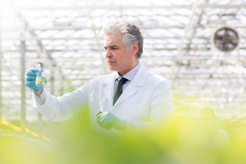 Bioquímico de sexo masculino maduro confiado que examina el frasco cónico mientras que se coloca en invernadero fotos de archivo libres de regalías