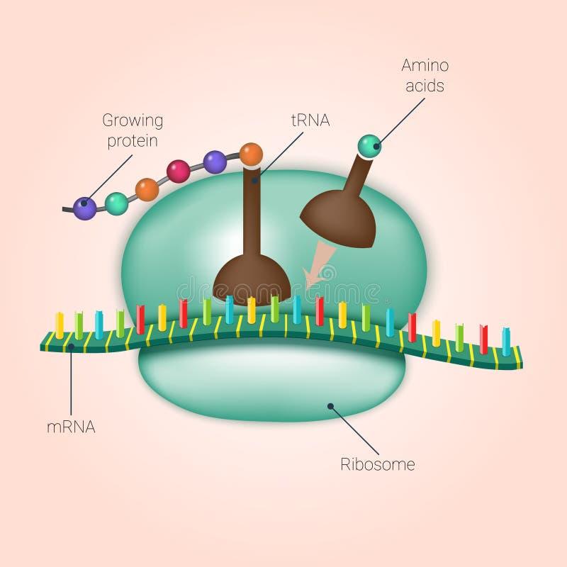 Biosintesi di proteina sul ribosoma nel vettore illustrazione vettoriale