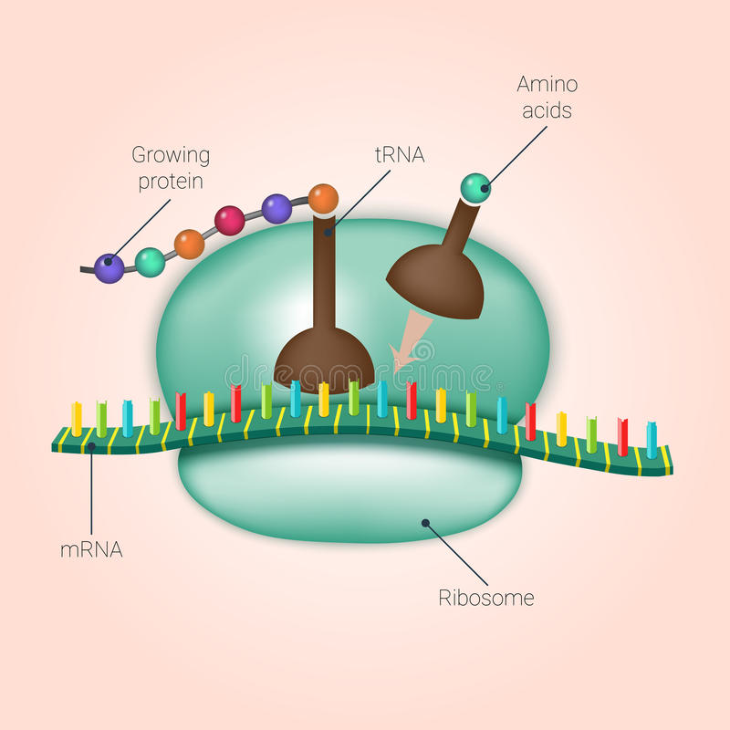 Biosynteza proteina na ribosome w wektorze ilustracja wektor