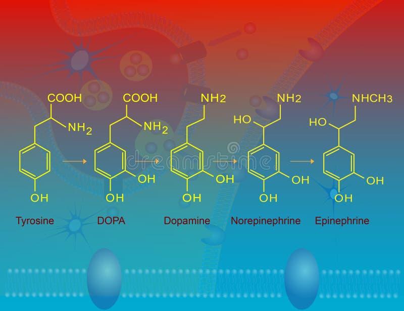 Biosynthese van epinefrine royalty-vrije illustratie