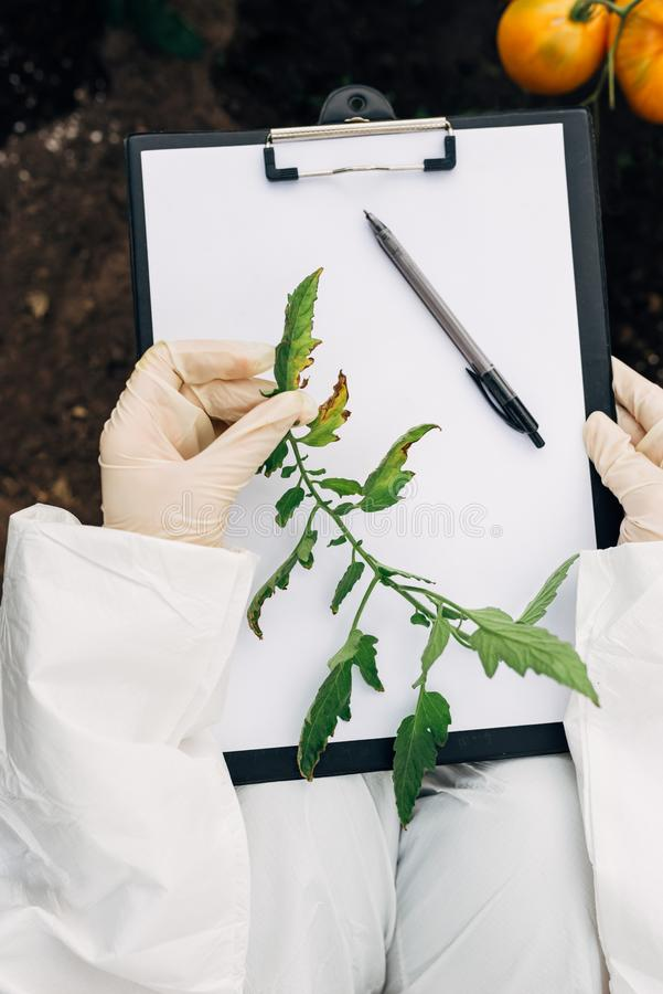 Biotechnologieingenieur in einem Gewächshaus überprüft Tomatenblätter für Krankheiten stockbilder