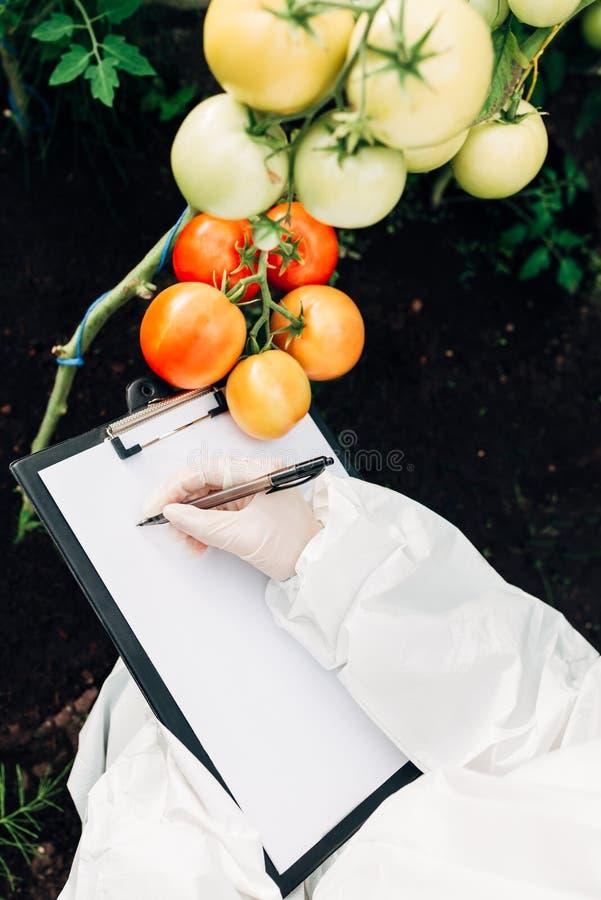 Biotechnologieingenieur in einem Gewächshaus mit einem Klemmbrett und einem Stift überprüft Tomaten für Krankheiten stockfotos