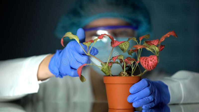 Biotechnologist injecting test liquid in pot with plant, toxin influence study royalty free stock image