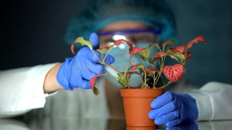 Biotechnologist som injicerar provflytande i kruka med v?xten, toxinp?verkanstudie royaltyfri bild
