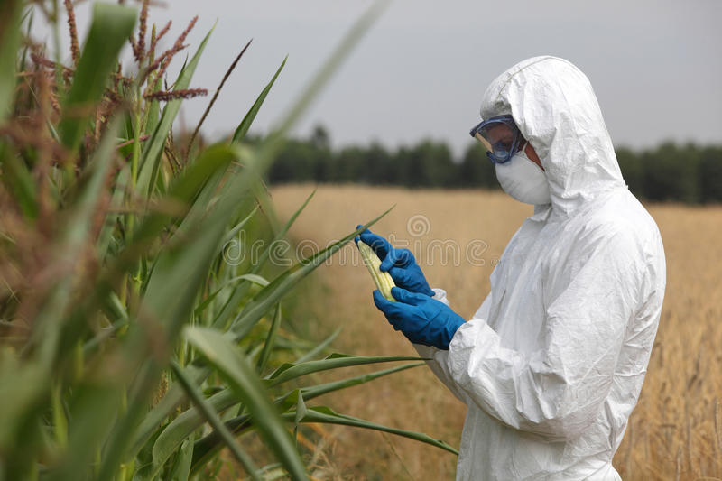 Biotechnology engineer on field examining corn cob on field royalty free stock photo