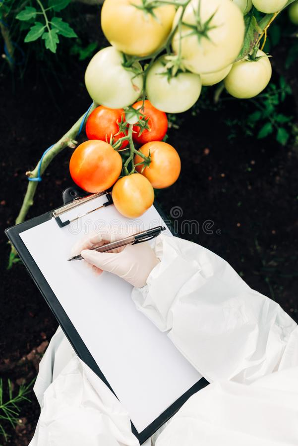 Biotechnology engineer in a greenhouse with a clipboard and pen examines tomatoes for diseases stock photos