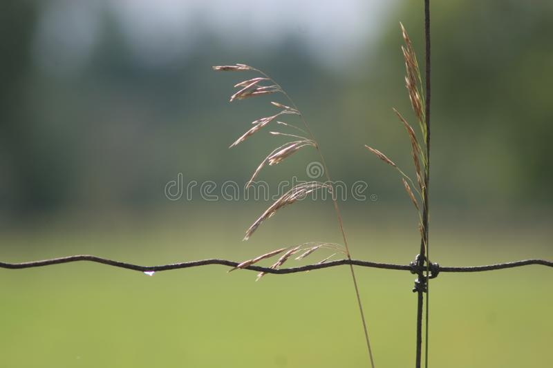 Biotic and abiotic relationships. A new growth of wild marsh grass supported against an old rusty wire fence and a single drop of water clings to the horizontal stock photo