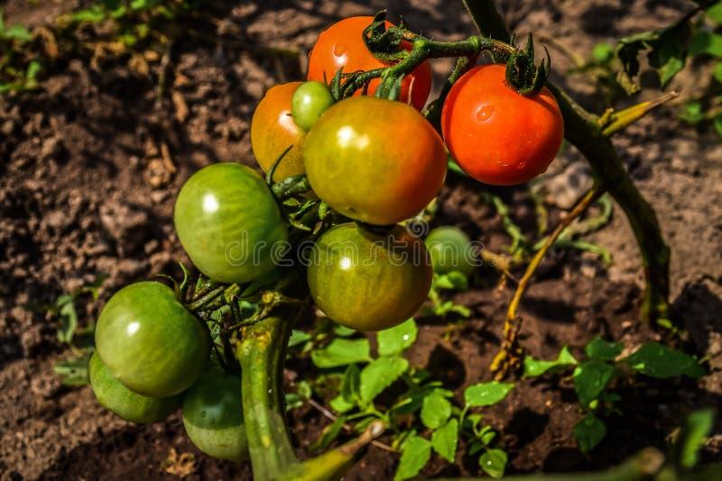 Biotomaten in de tuin stock afbeeldingen