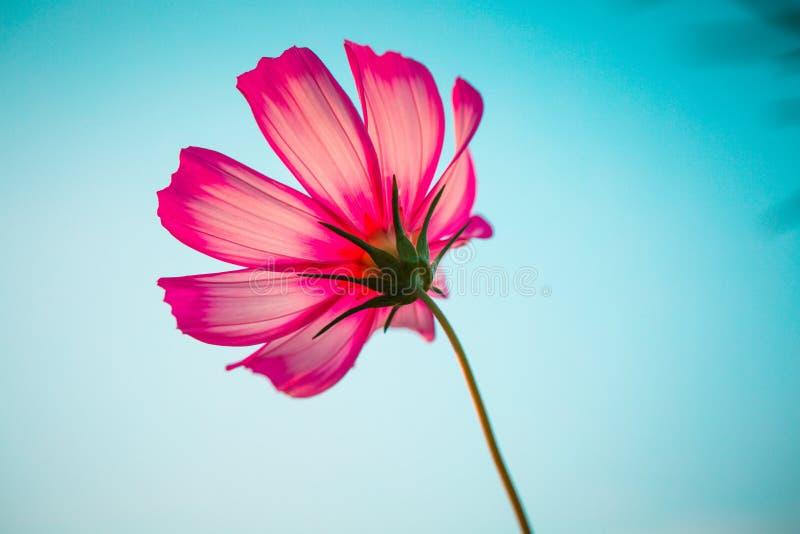 Bipinnata Cav космоса Цветок стоковые фотографии rf