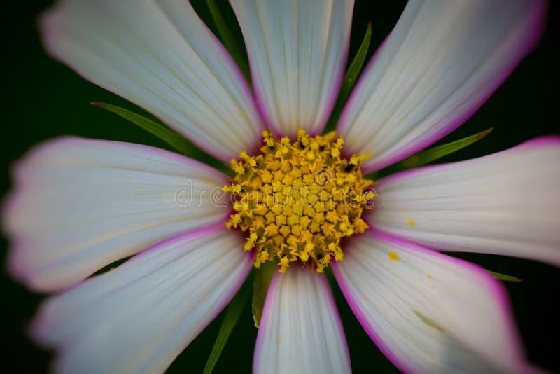 Bipinnata Cav de cosmos Fleur photos stock