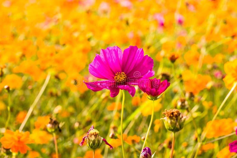 Bipinnatus de cosmos, si planté comme prés Causez le point de vue en raison de la variété de couleurs est frais et un bon fond image libre de droits