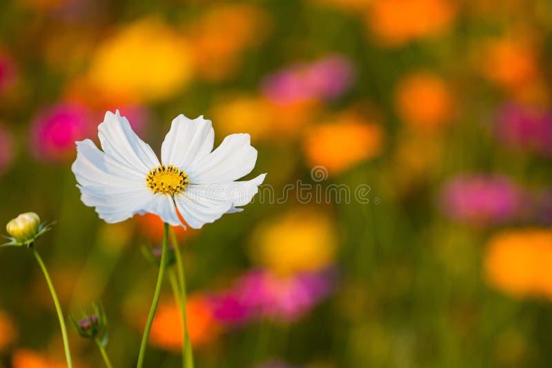 Bipinnatus de cosmos un grand choix de couleurs, bouquet différent de dominant concurrentiel comme ce qui est plus beau ? image libre de droits
