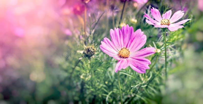 Bipinnatus do cosmos do cosmos da flor, flor roxa de florescência no prado imagem de stock